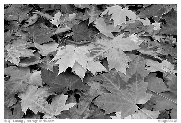 Close-up of fallen maple leaves. Georgia, USA (black and white)