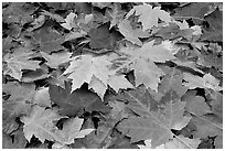 Close-up of fallen maple leaves. Georgia, USA ( black and white)