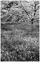 Spring wildflowers and tree in bloom, Bernheim arboretum. Kentucky, USA (black and white)