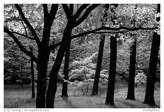 White and pink trees in bloom, Bernheim arboretum. Kentucky, USA (black and white)