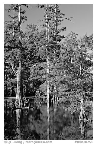 Bald cypress in fall color. Louisiana, USA (black and white)
