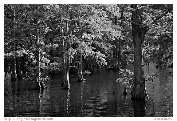 Swamp and cypress with needles in fall color. Louisiana, USA (black and white)