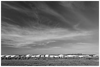 Cotton modules covered by tarps. Louisiana, USA ( black and white)