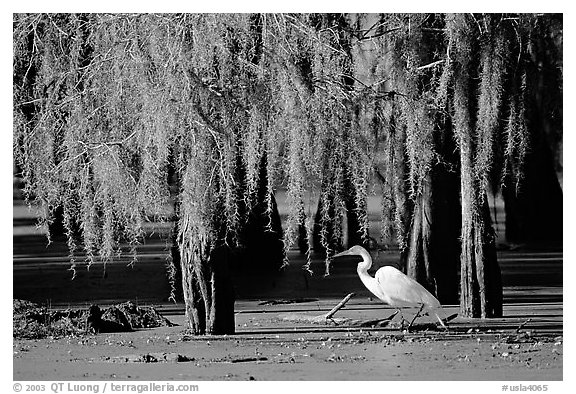 Great Egret and cypress covered with spanish moss, Lake Martin. Louisiana, USA (black and white)