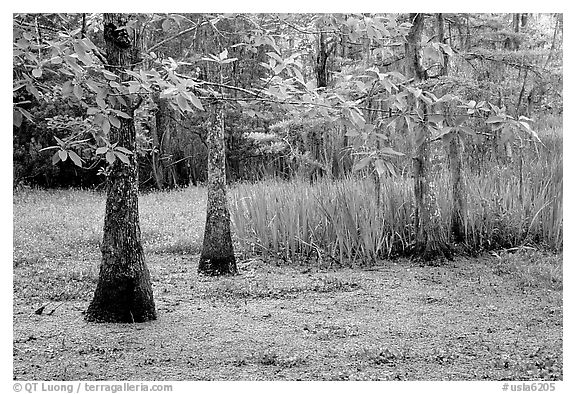 Bald cypress and swamp in spring, Barataria Preserve, Jacques Laffite Park. New Orleans, Louisiana, USA (black and white)