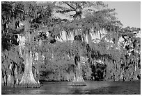 Bald cypress, late afternoon, Lake Martin. Louisiana, USA ( black and white)