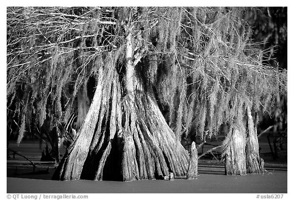 Big bald cypress tress, Lake Martin. Louisiana, USA (black and white)