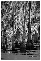 Bald cypress trees covered with Spanish mosst, Lake Martin. Louisiana, USA ( black and white)