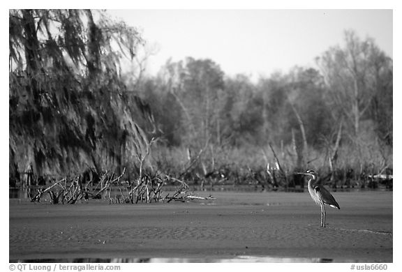 Bird in the swamp, Lake Martin. Louisiana, USA (black and white)