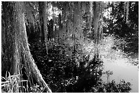 Cypress and reflections, Lake Martin. Louisiana, USA ( black and white)
