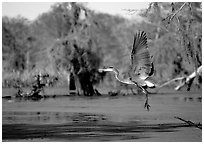 Bird landing, Lake Martin. Louisiana, USA ( black and white)