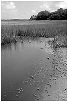 Crabs in a pond, grasses, Hilton Head. South Carolina, USA ( black and white)
