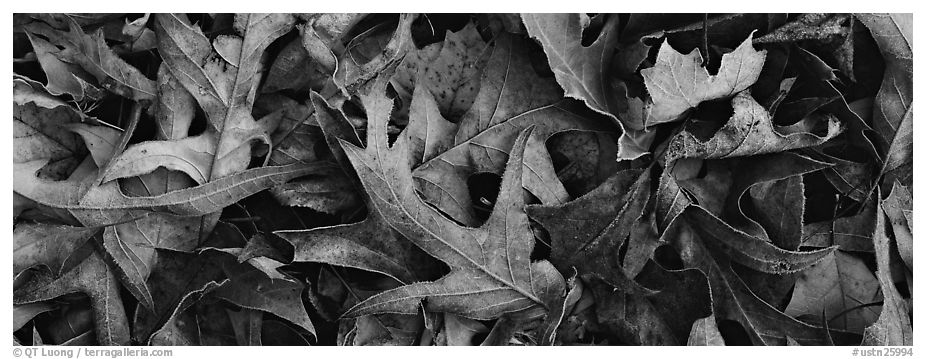 Close-up of falling leaves with frost. Tennessee, USA (black and white)