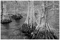 Cypress in Reelfoot National Wildlife Refuge. Tennessee, USA (black and white)