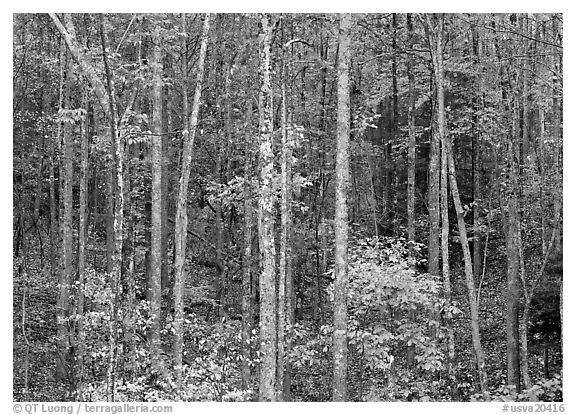 Trees in fall color, Blue Ridge Parkway. Virginia, USA (black and white)