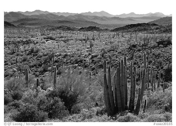 Cactus and Puerto Blanco Mountains. Organ Pipe Cactus  National Monument, Arizona, USA (black and white)