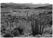 Cactus and Puerto Blanco Mountains. Organ Pipe Cactus  National Monument, Arizona, USA ( black and white)