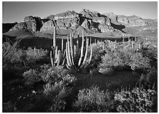 Organ Pipe cactus and Ajo Range, late afternoon. Organ Pipe Cactus  National Monument, Arizona, USA ( black and white)