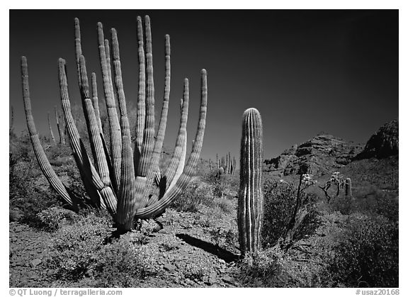 Organ Pipe Cactus and Saguaro. Organ Pipe Cactus  National Monument, Arizona, USA (black and white)