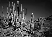 Organ Pipe Cactus and Saguaro. Organ Pipe Cactus  National Monument, Arizona, USA ( black and white)