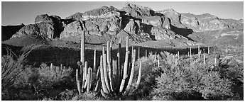 Scenery with organ pipe cactus and desert mountains. Organ Pipe Cactus  National Monument, Arizona, USA (Panoramic black and white)
