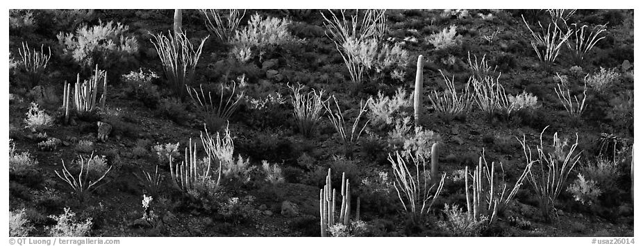Desert hillside in shadow with sunlit cactus. Organ Pipe Cactus  National Monument, Arizona, USA (black and white)
