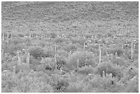 Verdant desert valley bottom with cactus, North Puerto Blanco Drive. Organ Pipe Cactus  National Monument, Arizona, USA (black and white)