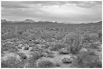 Cactus and brittlebush in the spring under cloudy skies, North Puerto Blanco Drive. Organ Pipe Cactus  National Monument, Arizona, USA ( black and white)
