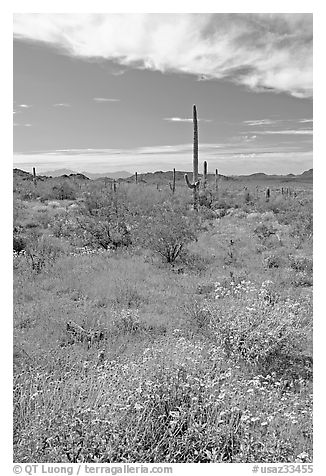 Britlebush in bloom, saguaro cactus, and mountains. Organ Pipe Cactus  National Monument, Arizona, USA (black and white)