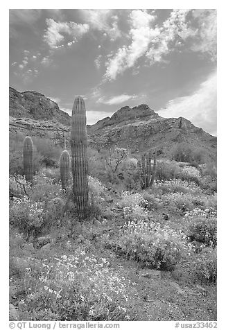 Cactus, field of brittlebush in bloom, and Ajo Mountains. Organ Pipe Cactus  National Monument, Arizona, USA (black and white)