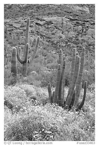 Organ pipe cacti on slope in spring. Organ Pipe Cactus  National Monument, Arizona, USA (black and white)