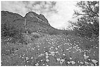 Mexican Poppies and Ajo Mountains. Organ Pipe Cactus  National Monument, Arizona, USA ( black and white)