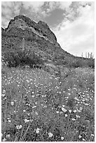 Mexican Poppies, lupine,  and Ajo Mountains. Organ Pipe Cactus  National Monument, Arizona, USA ( black and white)