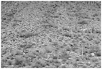 Hillside wih cactus and brittlebush in spring, Ajo Mountains. Organ Pipe Cactus  National Monument, Arizona, USA ( black and white)