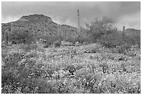 Brittlebush, cactus, storm clouds, and Ajo Mountains. Organ Pipe Cactus  National Monument, Arizona, USA ( black and white)