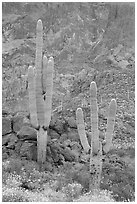 Multi-armed saguaro cactus in spring, Ajo Mountains. Organ Pipe Cactus  National Monument, Arizona, USA ( black and white)