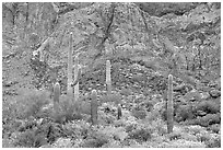 Group of saguaro cactus in spring, Ajo Mountains. Organ Pipe Cactus  National Monument, Arizona, USA ( black and white)