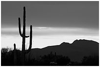 Saguaro cactus silhouetted at sunset. Organ Pipe Cactus  National Monument, Arizona, USA ( black and white)
