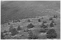 Pines on cinder slopes of crater at sunrise, Sunset Crater Volcano National Monument. Arizona, USA (black and white)
