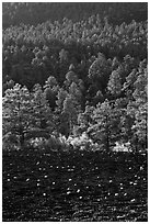 Cinder and forest, Sunset Crater Volcano National Monument. Arizona, USA (black and white)