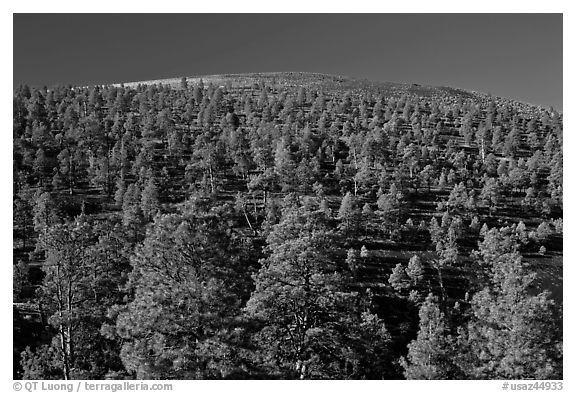 Pine trees on slopes of crater, Sunset Crater Volcano National Monument. Arizona, USA (black and white)