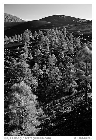 Pine trees growing on lava fields, Sunset Crater Volcano National Monument. Arizona, USA (black and white)