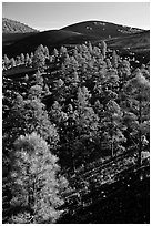 Pine trees growing on lava fields, Sunset Crater Volcano National Monument. Arizona, USA ( black and white)
