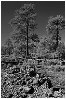 Hardened lava and pine trees, Coconino National Forest. Arizona, USA (black and white)