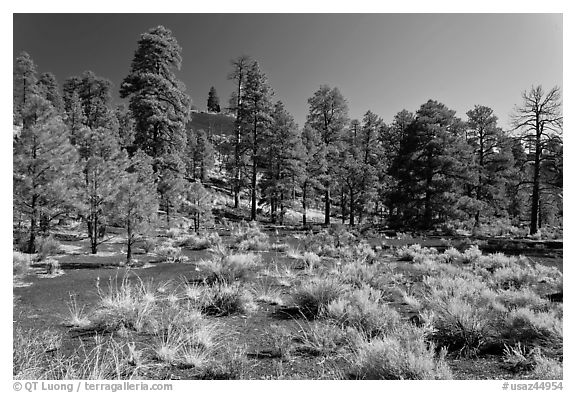 Cinder and pine trees, Coconino National Forest. Arizona, USA (black and white)