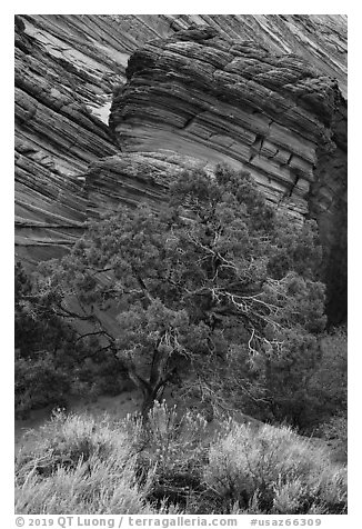 Tree and sandstone butte, Coyote Buttes South. Vermilion Cliffs National Monument, Arizona, USA (black and white)