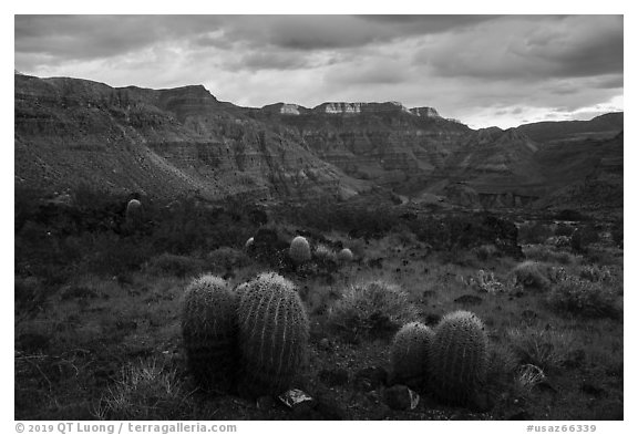 Barrel Cactus, Whitmore Wash. Parashant National Monument, Arizona, USA (black and white)