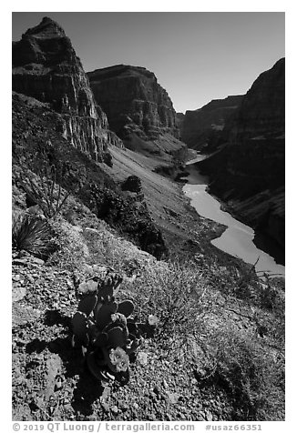 Cactus in bloom above Grand Canyon Whitmore Canyon Overlook. Parashant National Monument, Arizona, USA (black and white)