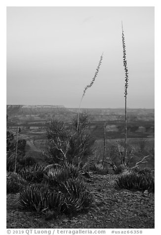 Agave stalks at dusk, Twin Point Overlook. Parashant National Monument, Arizona, USA (black and white)