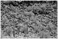Saguaro Cactus on hillside. Organ Pipe Cactus  National Monument, Arizona, USA (black and white)